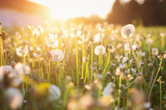 Green summer meadow with dandelions at sunset. Nature background Stock Photography