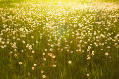 Green summer meadow with dandelions at sunset. Nature background Royalty Free Stock Images