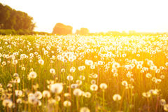 Green summer meadow with dandelions at sunset. Nature background Royalty Free Stock Photography