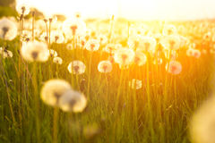 Green summer meadow with dandelions at sunset. Nature background. Sunset or Sunrise Stock Photos