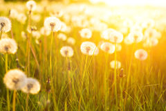 Green summer meadow with dandelions at sunset. Nature background stock images