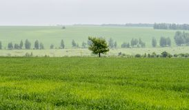 Lonely tree in the field royalty free stock image