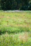 Green summer meadow Royalty Free Stock Photography