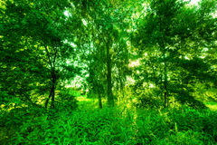 Green summer park. Sun shining through trees, leaves Royalty Free Stock Photo