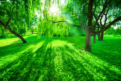 Green summer park. Sun shining through trees, leaves Stock Image