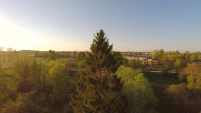 Green summer park. Sunset. Pine tree. Aerial footage. stock video