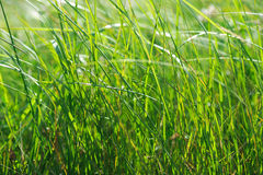 Green summer shining grass in sunlightg. bright nature backgroun Stock Image