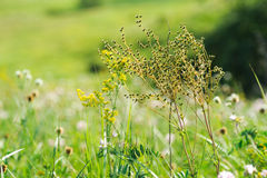 Green summer shining grass in sunlightg. bright nature backgroun Royalty Free Stock Photos
