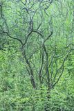 Green summer thicket. Curvy bush branches in green summer thicket Royalty Free Stock Photos