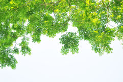 Green summer tree leaves pendant foreground Stock Photos