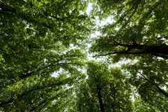 Green summer trees. Wide up view of fresh summer trees Stock Photography