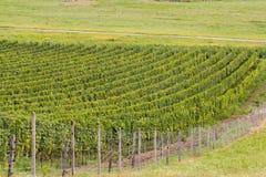Green summer vineyards. Beautiful green summer vineyards landscape stock photo