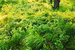 Green summer wild grass. Nobody. Green wild summer grass closeup. Nobody. Nature Royalty Free Stock Images