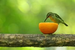 Green sunbird. Eating from half an orange fruit Royalty Free Stock Images