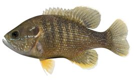 Green Sunfish. Fish isolated on white background Royalty Free Stock Photography