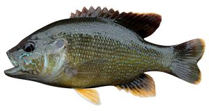 Green sunfish. Fish file isolated on white Stock Photos