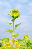 Green sunflower with blue sky. Fresh sunflower with blue sky Stock Image