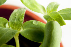 Green sunflower growing sprouts Stock Photo