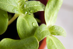 Green sunflower growing sprouts Stock Image