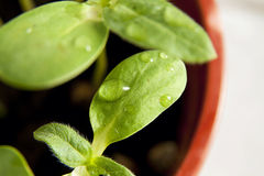 Green sunflower growing sprouts Stock Photography