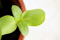 Green sunflower growing sprouts Royalty Free Stock Photography