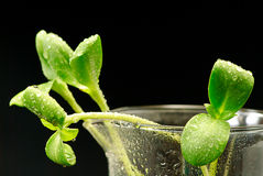 Green sunflower plant sprouts isolated Stock Images