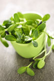 Green sunflower sprouts in a cup Royalty Free Stock Image