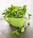 Green sunflower sprouts in a cup Stock Photo