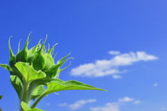 Green sunflower in sunny day Royalty Free Stock Photo