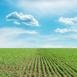 Green sunflowers field and blue sky with clouds Stock Photography
