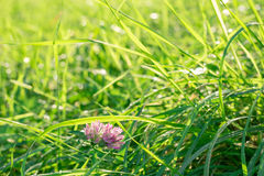 Green sunlit glade with single clover flower on it in the fresh dew Stock Photos