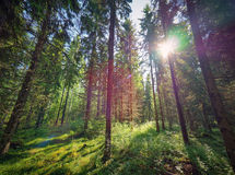 Green sunny forest in Finland Stock Photos