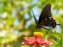 Green Swallowtail, Battus philenor butterfly Royalty Free Stock Image