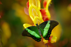 Green swallowtail buterfly, Papilio palinurus, insect in the nature habitat, red and yellow liana flower, Indonesia, Asia Royalty Free Stock Photography