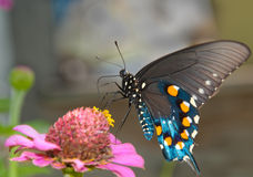 Green Swallowtail Butterfly Royalty Free Stock Photo