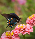 Green Swallowtail Butterfly on double pink Zinnia Stock Photos