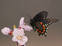 Green Swallowtail butterfly in early spring. Green Swallowtail butterfly feeding on and pollinating a peach blossom in early spring royalty free stock photography