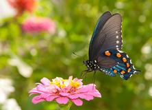 Green Swallowtail butterfly feeding on a pink Zinn Royalty Free Stock Photos