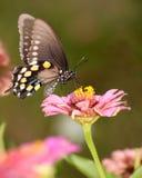 Green Swallowtail butterfly feeding on pink Zinnia. In garden stock photo