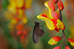 Green swallowtail butterfly, Papilio palinurus, insect in the nature habitat, red and yellow liana flower, Indonesia, Asia. Red an Royalty Free Stock Photos