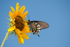 Green Swallowtail butterfly on wild Sunflower. Green Swallowtail butterfly feeding on a yellow Sunflower against clear blue sky stock image
