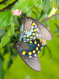 Green Swallowtails mating Stock Images