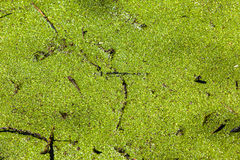 Green Swamp Detail Water Hole Royalty Free Stock Images