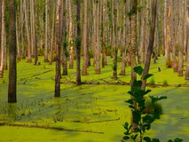 Green swamp in the forest Royalty Free Stock Photos