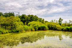 Green swamp Royalty Free Stock Images