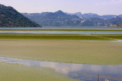 Green swamp - Montenegro Royalty Free Stock Image