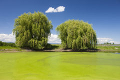 Green swamp and trees. Stock Images