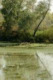 Green swamp and vegetation on shores of Mincio river, Mantua, I. Green swamp and lush vegetation on shores of Mincio river, shot in bright autumn sun light near stock image