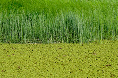 Green swamp water Stock Photography