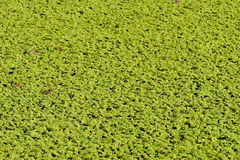 Green swamp water Royalty Free Stock Images
